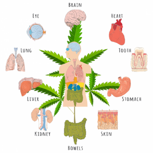 Interesting Facts About Cannabis And The Endocannabinoid System