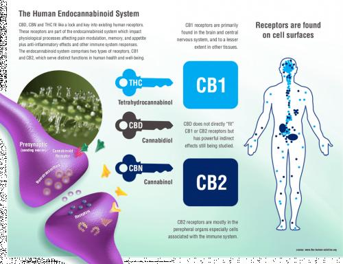 Endocannabinoid System in Focus by Fabio Lungo