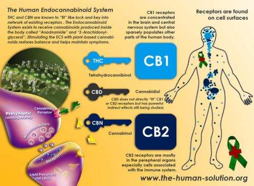 Most Medical Schools Don't Cover the Endocannabinoid System...They All Should!