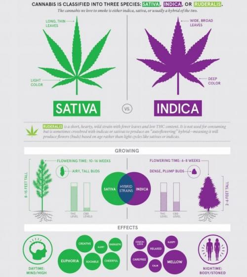 The Difference Between Indica, Sativa & Hybrid