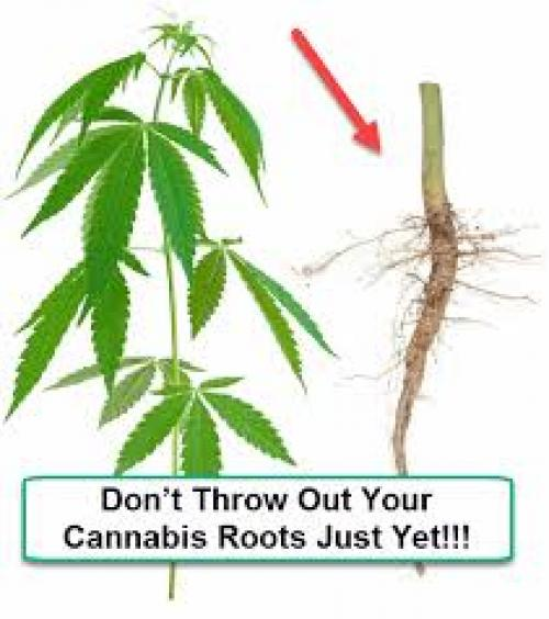 Cannabis Roots
